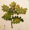 Как нарисовать дубовый лист красками?