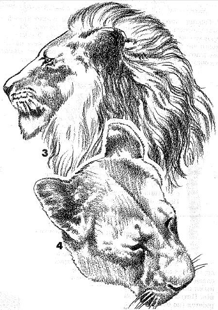 красивые картинки тигра и волка