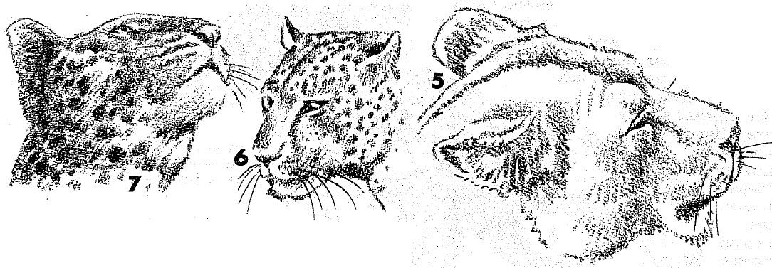 Брови нос льва рисуют обычно